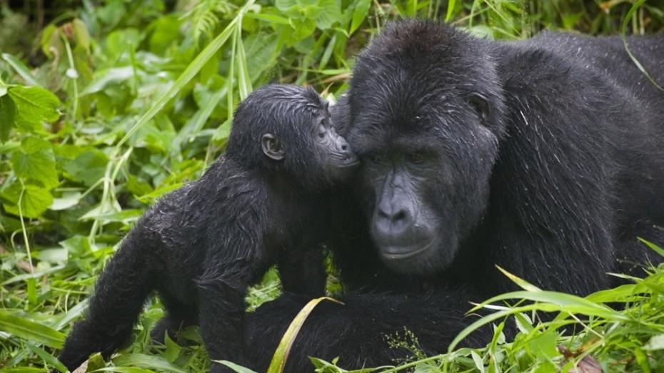 Ouganda, des Chutes duNil à Bwindi: Rencontre avec les gorilles des montagnes